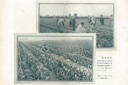 1930年代(昭和初期)奈良県でのチューリップ栽培(上)、オランダでのチューリップ栽培(下)