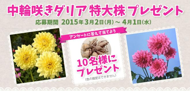 中輪咲きダリア 大阪株プレゼント 4月1日(水)まで