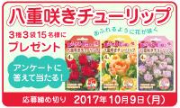 八重咲きチューリップをプレゼント!