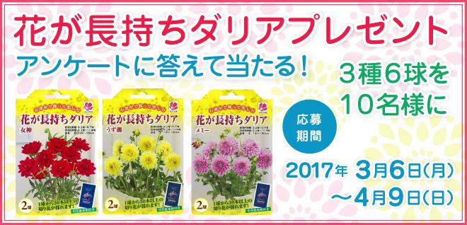 花が長持ちダリア 3種6球を10名様にプレゼント!