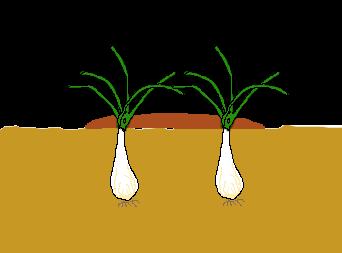 ラッキョウ 植え付け(土寄せ)