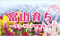 富山育ちチューリップの魅力