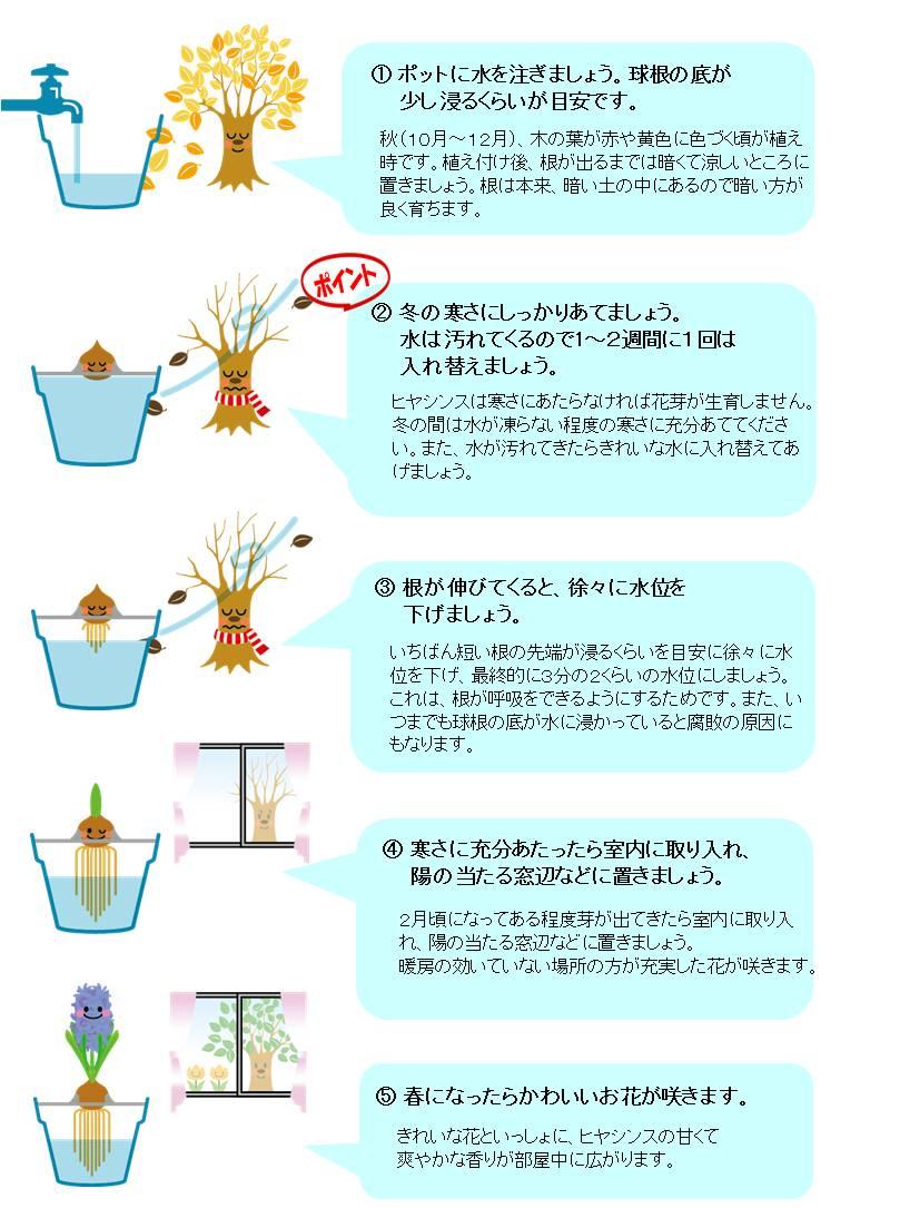 hajimete_Hyacinthus_set_sodatekata