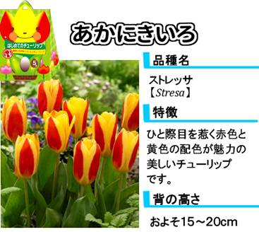 hajimete_tulip_item_redandyellow
