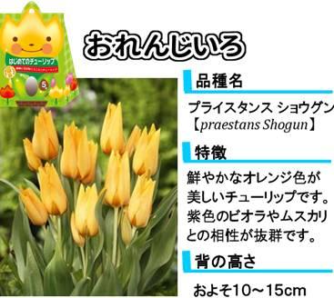 hajimete_tulip_lineup_orange