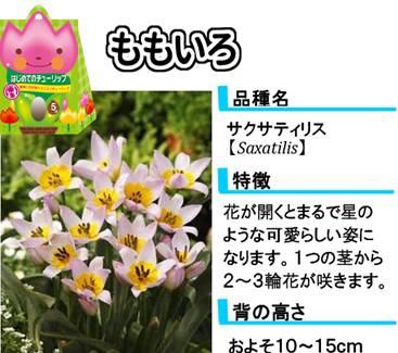 hajimete_tulip_lineup_pink