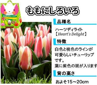 hajimete_tulip_lineup_pinkandwhite