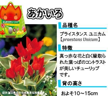 hajimete_tulip_lineup_red