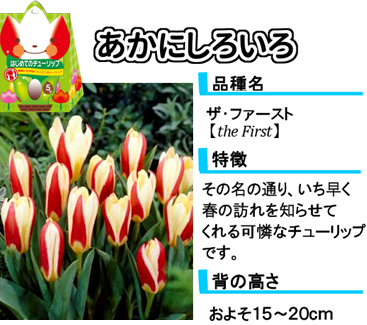 hajimete_tulip_lineup_redandwhite