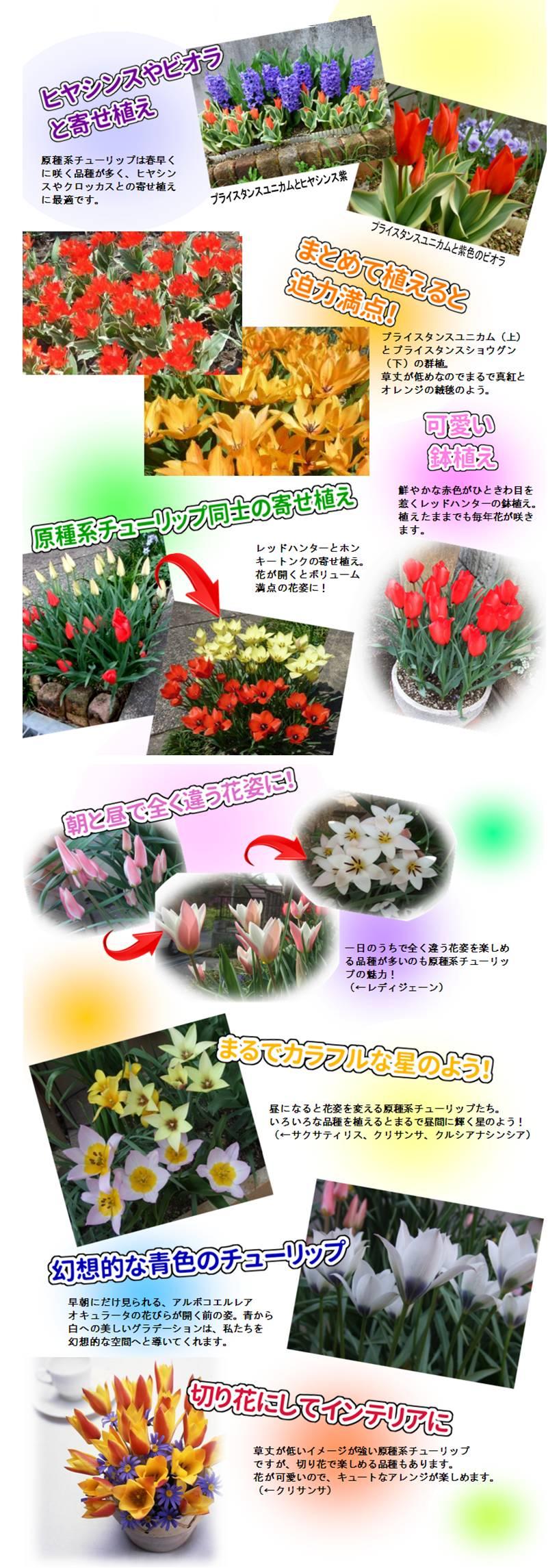 hajimete_tulip_tanoshimikata
